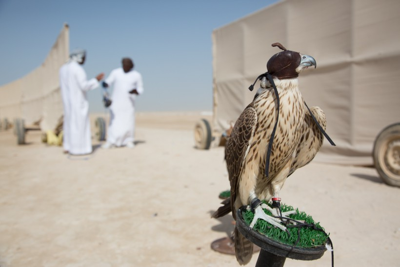 Falcons in the UAE